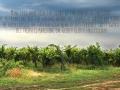 vineyard1a
